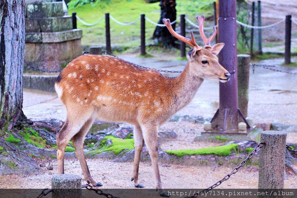 (古都奈良遊記)奈良公園、春日大社、東大寺 散步逐鹿日記&奈良慶典、世界遺產整理