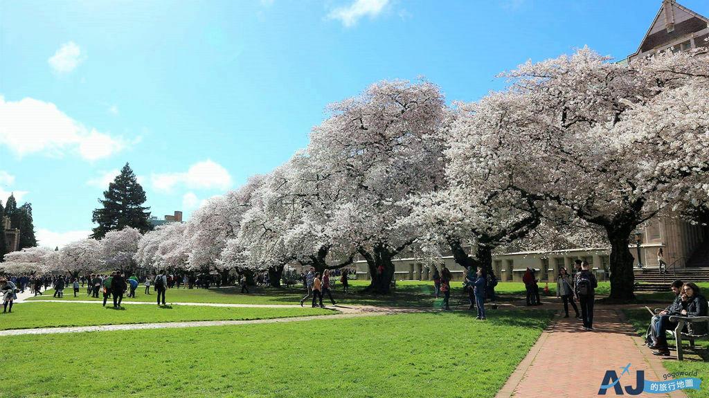 西雅圖華盛頓大學 蘇札洛圖書館 走進哈利波特世界 西雅圖的櫻花聖地 開花時間分享